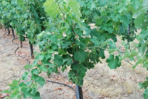 Heavy load on the Mourvedre that will be thinned in August