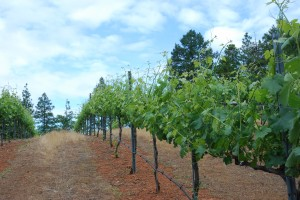 Syrah growth up through the wires in the trellis