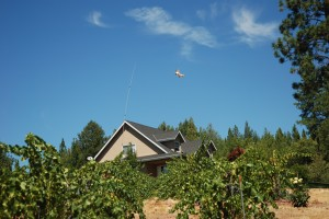 One of My Fearless Kite-Birds Protecting the Vineyard