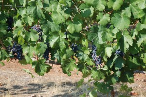 Syrah Going Deep Purple