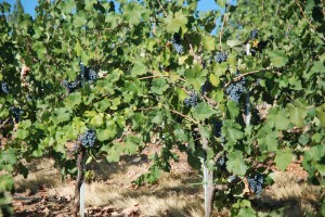 Head Trained Mourvedre Slowly Riping