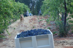 Lower Vineyard Bountry/Sophie Supervising