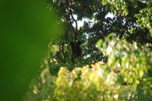 Howler Monkey in Trees Above Cabana