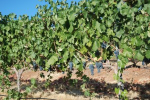 Syrah (Trellis) Soon To Be Delivered to the Crusher
