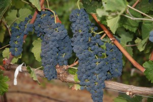 Tomorrow the Journey Begins from Quality Grape to Fine Wine