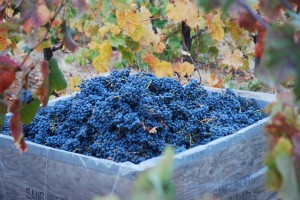 Fall Mourvedre Bounty