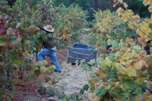 The Harvest of Mourvedre