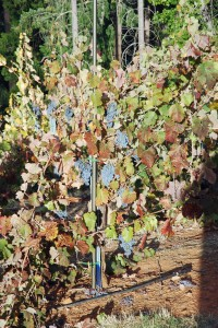 Mourvedre and Rapidly Turning Leaves