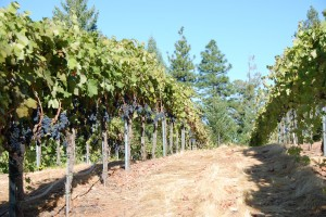 Syrah ready for Harvest